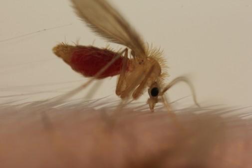 Leishmania parasite is transmitted by the bite of sand flies. Credit:Jovana Sadlova, Charles University, Prague